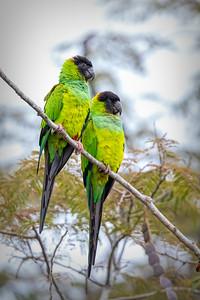 Nanday (Black-headed) Parakeet