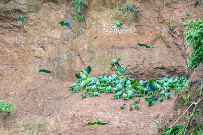Blue-headed Parrot, Mealy Parrot, Yellow-crowned Amazon