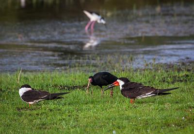 Black Skimmer, Bare-faced Ibis