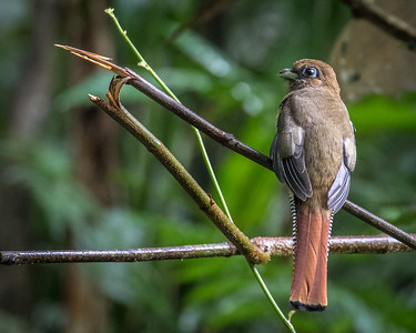 Black-throated Trogon (f)