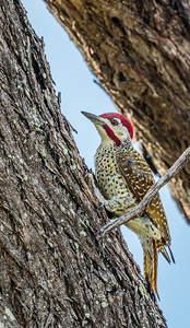 Bennet's Woodpecker