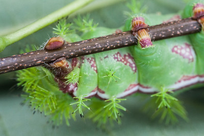 Io Moth Caterpillar