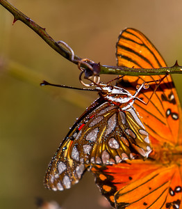 Gulf Fritillary with Dew, Bob Jones Nature Center and Preserve, Southlake, TX