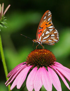 Gulf Fritillary on Purple Coneflower