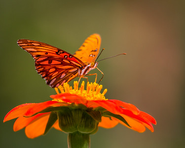 Gulf Fritillary on Mexican Sunflower, Grapevine, TX, 2010