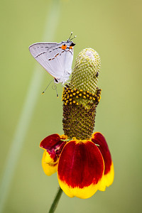 Coreopsis with Hairstreak