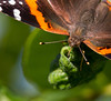 Red Admiral, Bob Jones Nature Center & Preserve, April, 2012