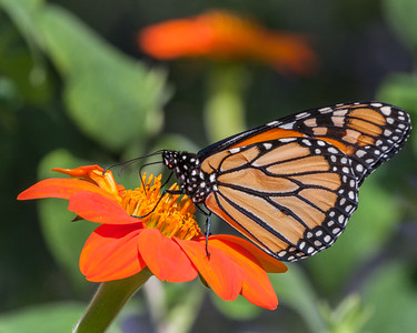 Monarch on Mexican Sunflower III, Grapevine, 2009