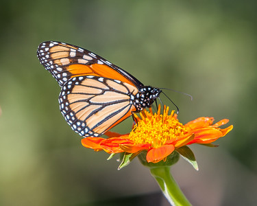 Monarch on Mexican Sunflower II