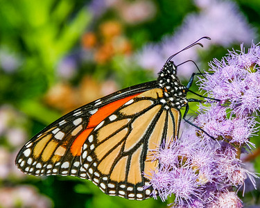 Monarch on Mist Flower