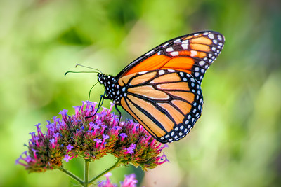 Monarch, Grapevine, TX, 2006