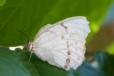 White Morpho, Butterfly World, FL, 2009