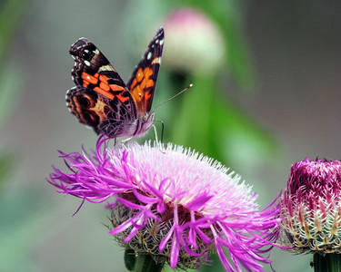Painted Lady with Basket Flower, Grapevine, TX, 2007
