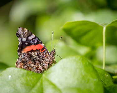 Red Admiral, Bob Jones Nature Center & Preserve, April, 2012
