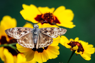 Skipper with Coreopsis