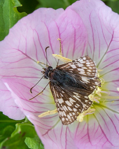 White-checkered Skipper