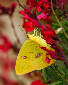 Cloudless Giant Sulphur with Salvia Greggii