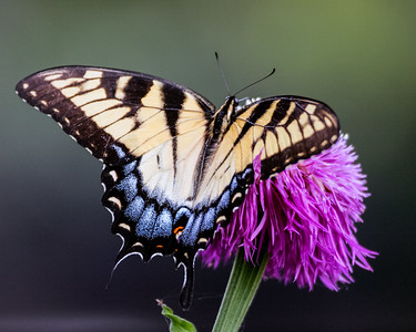 Tiger Swallowtail with Basket Flower,