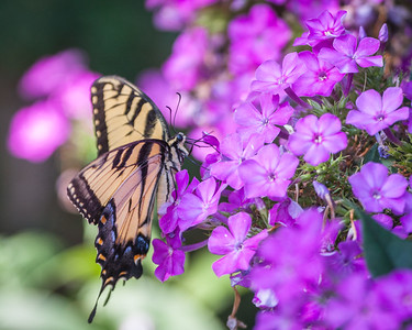 Tiger Swallowtail with Phlox