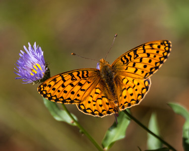 Fritillary, Mt. Zirkel Wilderness Area, CO, 2007