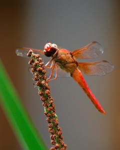 Neon Skimmer