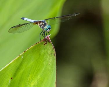 Dragonfly, Wakodahatchee, FL, 2010