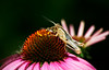 Grasshopper on Purple Coneflower