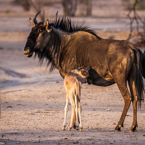 Young Gnu
