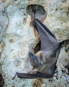 Madagascar Straw-colored Fruit Bat