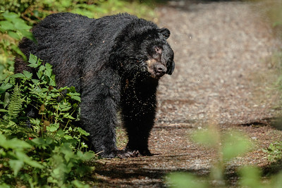 Black Bear Shaking It Off