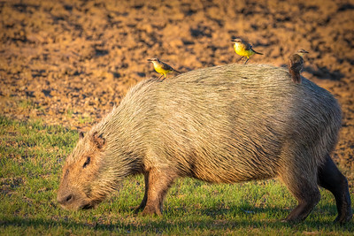 Cattle Tyrant with Capybara