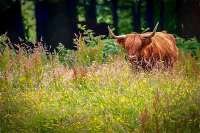 Hairy Coo Painterly
