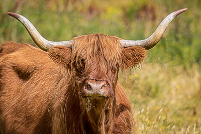 The Ulrtimate Hairy Coo