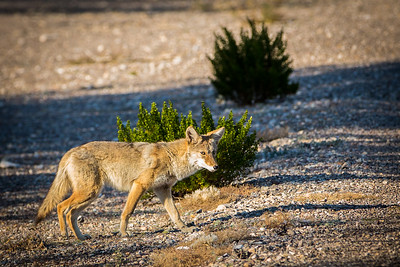 Coyote, Rio Grande Village, Big Bend, Texas, 2013