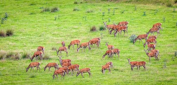 Red Deer Harem
