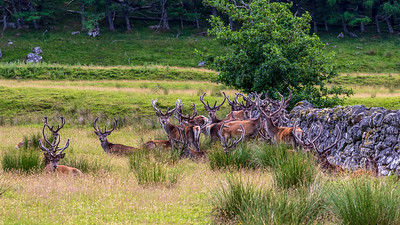 Red Deer Bachelor Herd