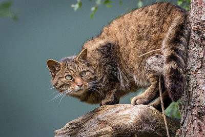 """Cat Pose"" Scottish Wild Cat"