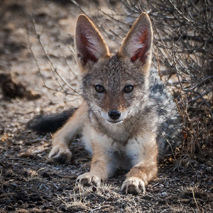 Black-backed Jackal Youngster