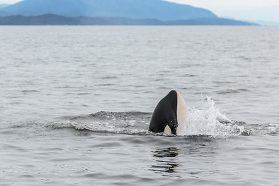 Orca Skyhopping
