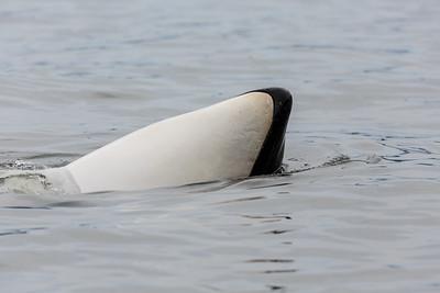Orca Pectoral Slap