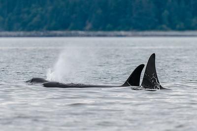 Orca Whale Spout