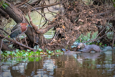 Rufescent Tiger-Heron & Neotropical River Otter