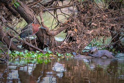 Rufescent Tiger-Heron and Neotropical River Otter