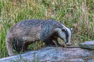 European Badger Looking for Dinner