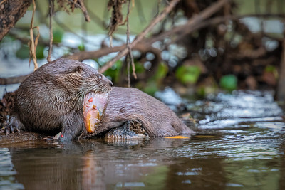 Neoptropical River Otter