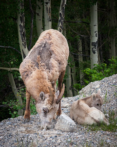 Mother and Child,  Banff NP, Alberta, Canada, 2006