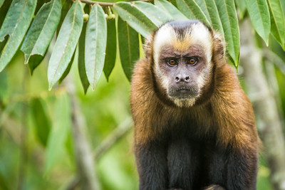 Tufted Capuchin Monkey - The Enforcer