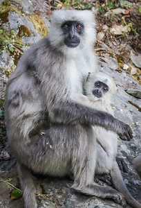 Mother and Child, Hanuman Langur