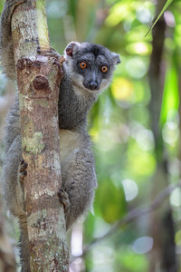 Common Brown Lemur female