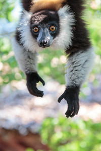 Hanging Out, Black-and-white Ruffed Lemur